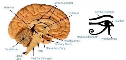 L'attaque de la glande pinéale - Par le Dr Dietrich Klingham Pineal-y-horus